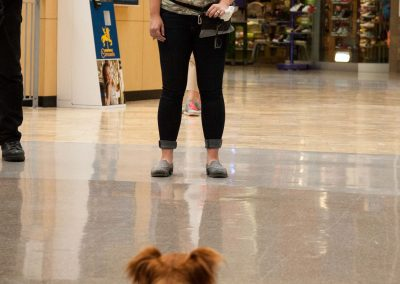 american-service-dog-at-mall-119