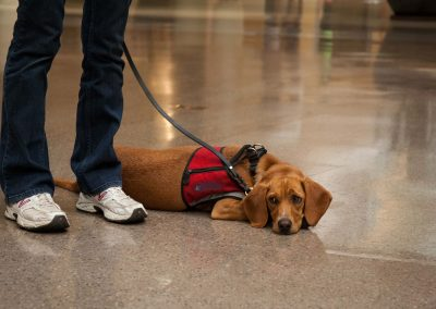 american-service-dog-at-mall-140