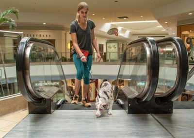 american-service-dog-at-mall-64