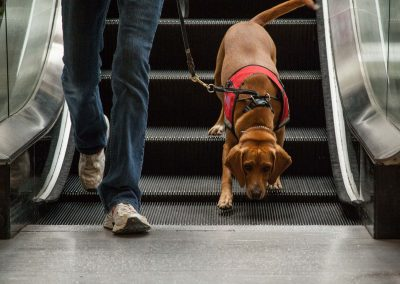 american-service-dog-at-mall-72